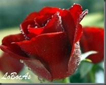 rosaroja-LoBocAs-01