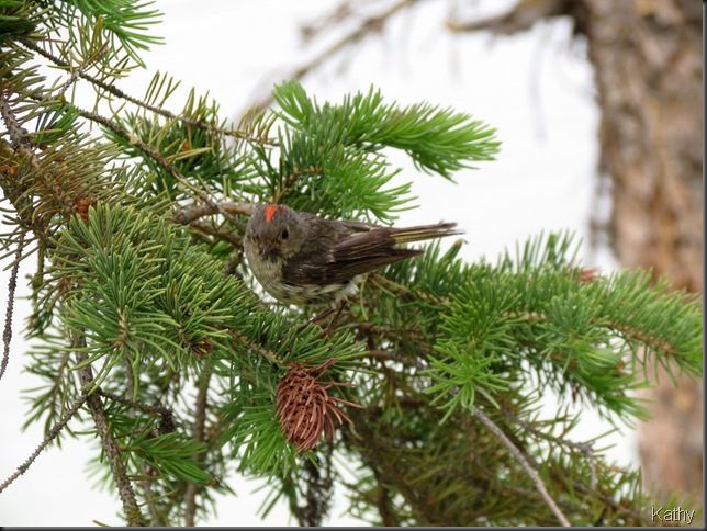 Ruby Crowned Kinglet showing the 'ruby'