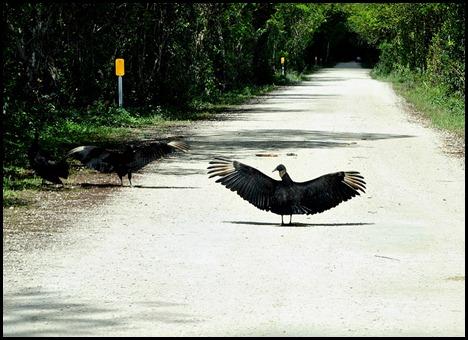 16f - Cypress Swamp Turkey Vultures