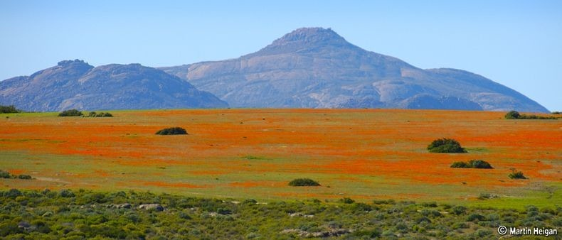 Namaqualand-flowers-7
