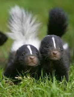Amazing Pictures of Animals, Photo, Nature, Incredibel, Funny, Zoo, Skunks, Polecats, Mammals, Alex (5)