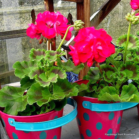 buckets of geraniums