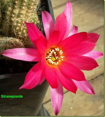 Echinopsis chamaecereus x lobivia fiore