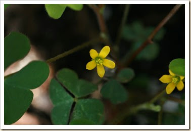 yellow clover flower