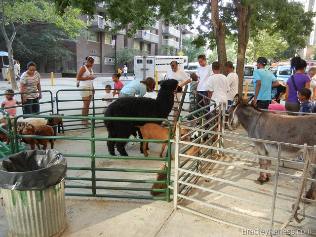 Farm animals in New York City.