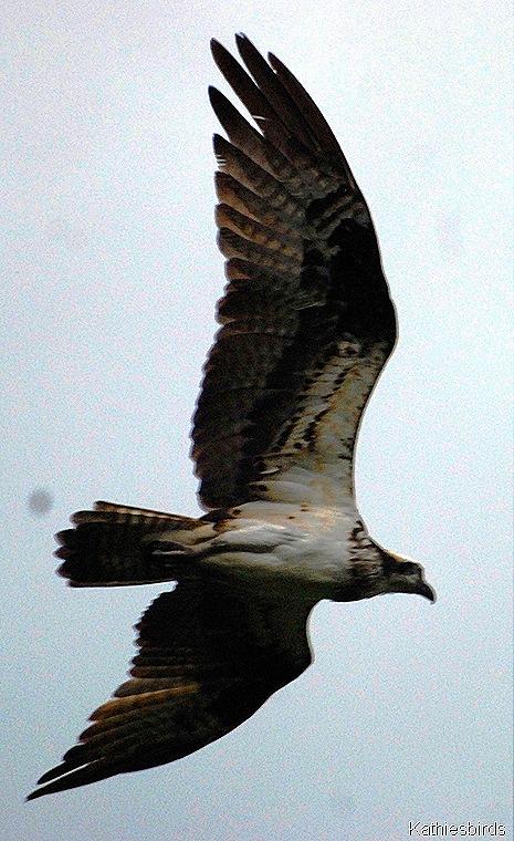 DSC_0044-osprey-kab