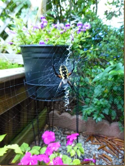 garden spider_010