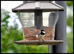 01c - birds - chickadee