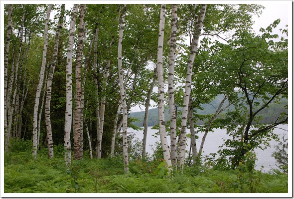 BIRCH TREE (6)