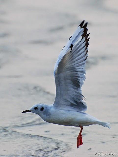 12. Bonaparts gull revere beach-kab
