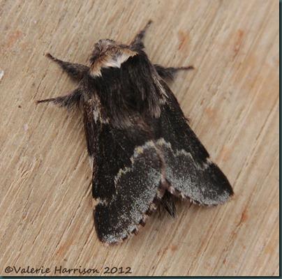 December-moth-2
