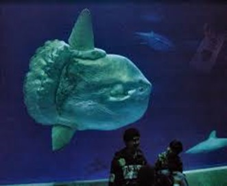 Amazing Pictures of Animals, photo, Nature, exotic, funny, incredibel, Zoo, ocean sunfish, Mola mola, or common mola, Alex (12)