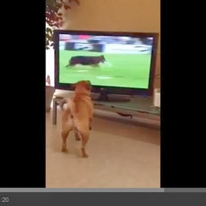 Σκύλος παρακολουθεί τηλεόραση