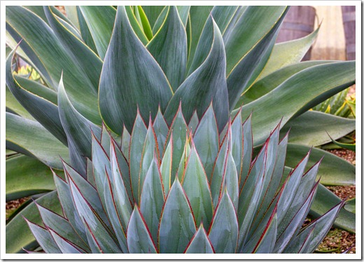 120929_SucculentGardens_Agave-Blue-Glow- -Blue-Flame_08