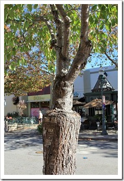 121028_SantaCruz_pollarded_tree