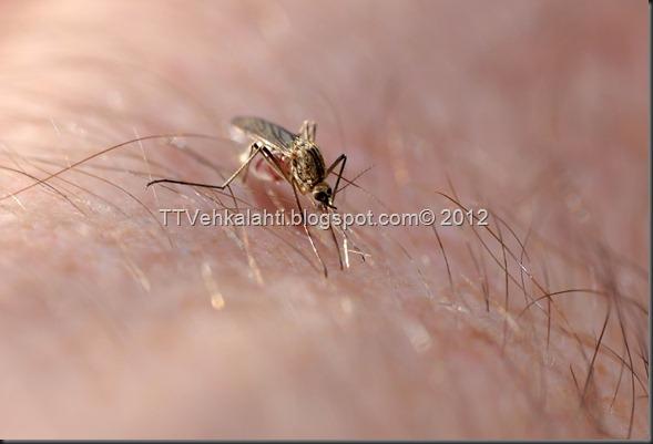 kukka hyttynen 027