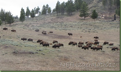 YellowstoneBison
