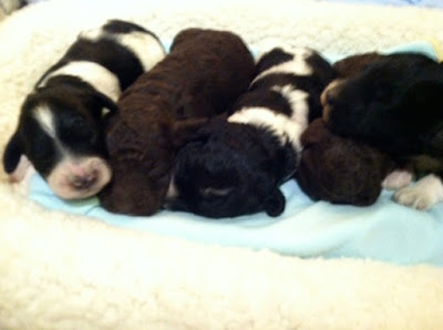 One week old babies, chocolate , parti doodle, chocolate, black with white markings.