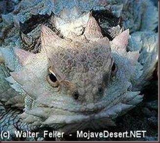 Amazing Pictures of Animals, photo, Nature, exotic, funny, incredibel Zoo, Horned lizard, Phrynosoma, Reptilia, Alex (26)