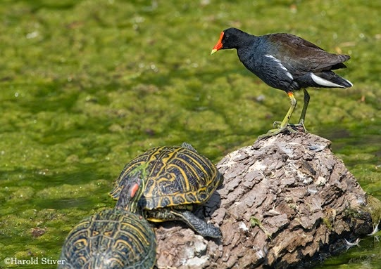 Amazing Pictures of Animals, Photo, Nature, Incredibel, Funny, Zoo, Common Moorhen, Gallinula chloropus, Aves, Alex (26)