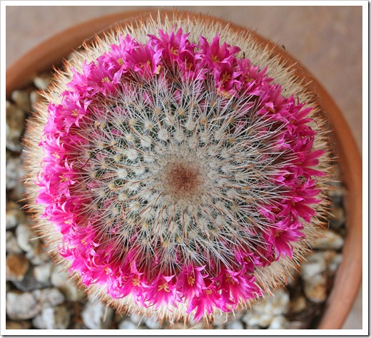 120512_Mammillaria-spinosissima_03