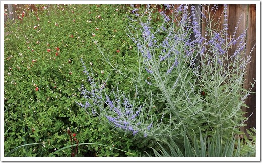 130601_Salvia-Hot-Lips- -Russian-sage