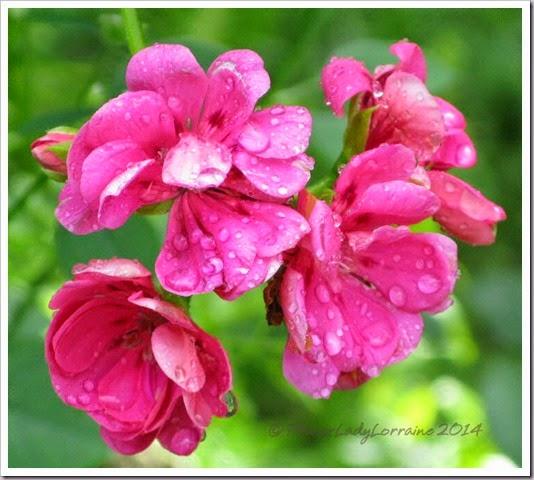 08-08-nj-geraniums
