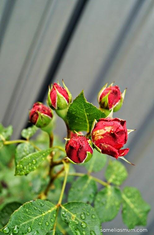 Pierre De Ronsard - Red Buds