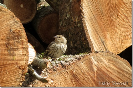 Pine Siskin in woodpile