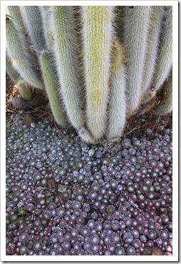 120414_RBG_Cleistocactus-hyalacanthus- -Sempervivum-arachnoideum_04