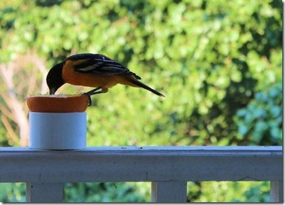 oriole 2
