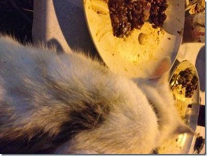 Olaf my litle rascal cat