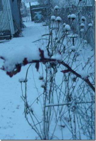 roseand echinacea2012