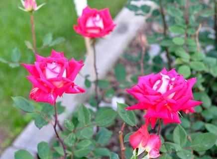 2012-05-22 roses 04