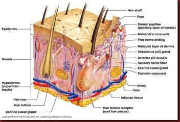Inside hair follicle
