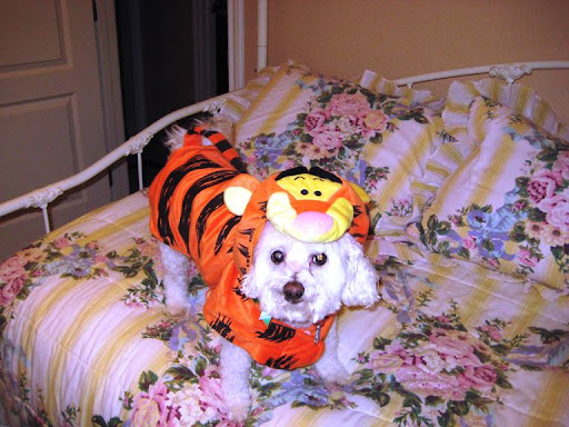 Camillia and her husband, Don, first fostered, then adopted Sir Lancelot (here as Tigger) three years ago after he, too, had been used for eight years and then abandoned to a shelter by a different puppy mill.