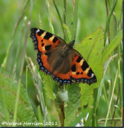33-small-tortoiseshell