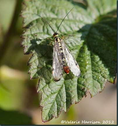 scorpion-fly