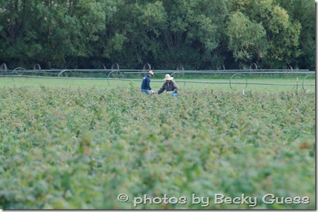 10-05-11 raspberry farm near Mora NM 16