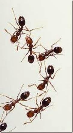 phoenix-ant-control