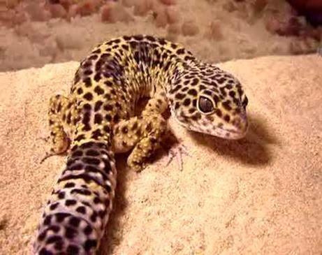 Amazing Pictures of Animals, Photo, Nature, Incredibel, Funny, Zoo, Eublepharis macularius, Leopard gecko, Alex (9)