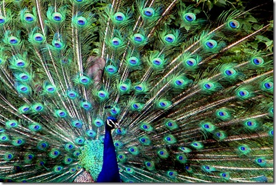bronx-zoo-peacock
