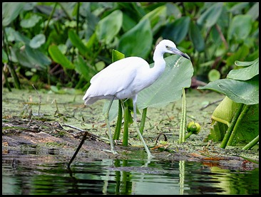 08 - Animals - Snowy Egret 3 - young
