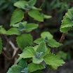 Plectranthus graveolens.jpg