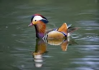 Amazing Pictures of Animals, Photo, Nature, Incredibel, Funny, Zoo, Mandarin Duck, Aix galericulata, Alex (10)