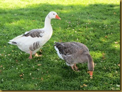 IMG_1507 Geese