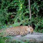 Leopard im Sabi Sand Gebiet © Foto: Singita Lodges