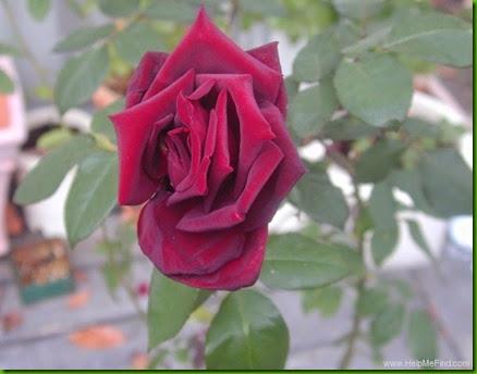 Rosa Bonne Nuit