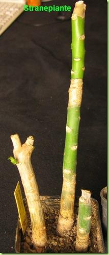 Synadenium grantii secco