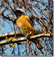 redstart cannock chase april 2014